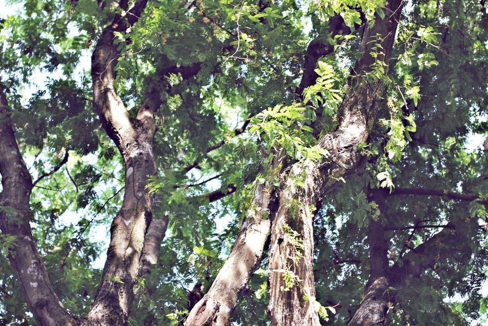 caribbean fruit trees