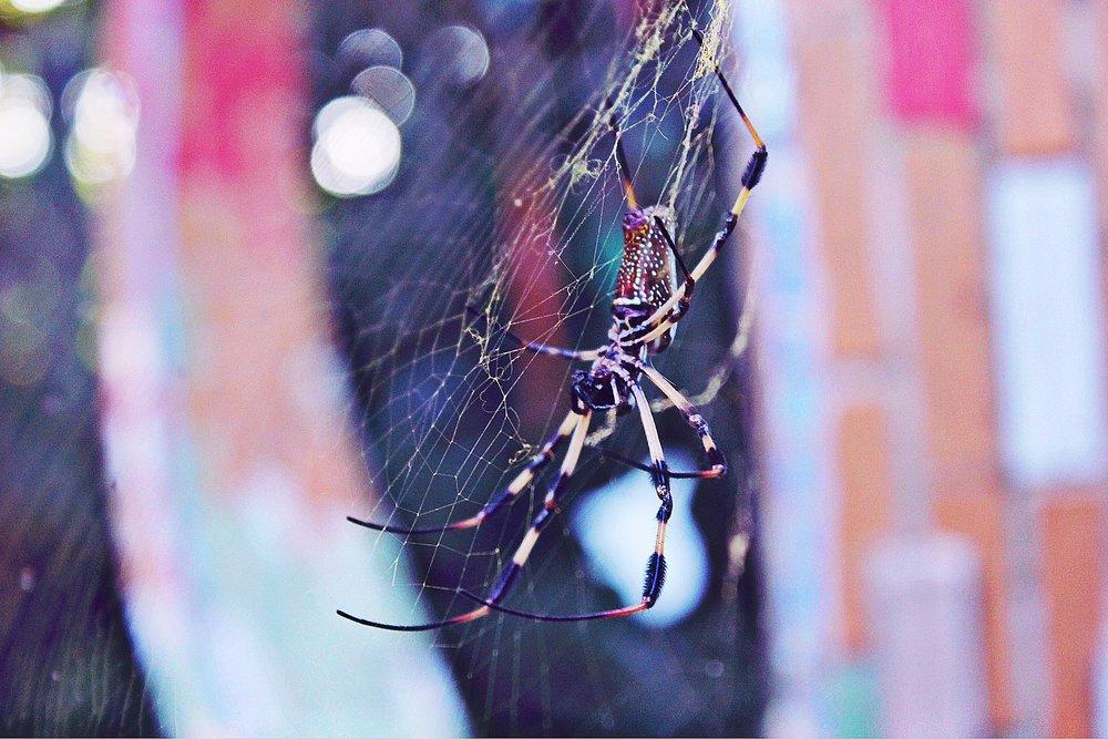 """Nos sentimos obligados a recordar a nuestros huéspedes que cuando nos visitan en Jade Seahorse, Utila, están visitando los trópicos del interior de la isla y se puede encontrar el inofensivo y hermoso Silk Golden Orb """"arañas bananeras"""" que cuidadosamente giran sus webs, por encima de los Árboles mango. Sin embargo, si usted es alguien que experimenta miedo de los artrópodos, le sugerimos que reconsidere su visita o visite a su riesgo."""