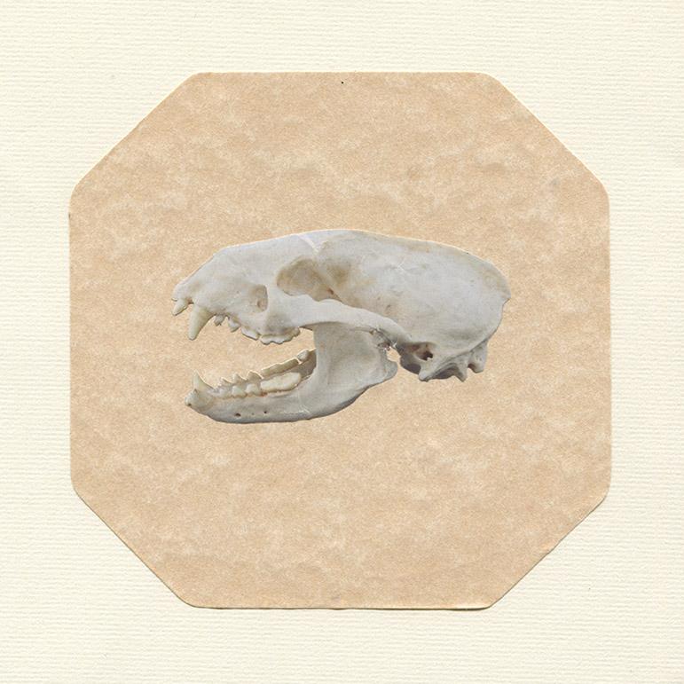 badger skull.jpg