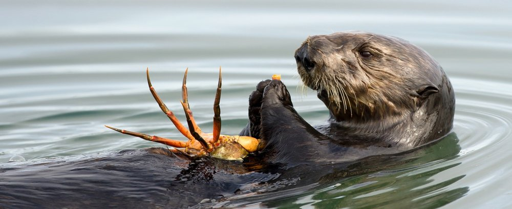 Sea-Otter-and-Crab-1480x604.jpg