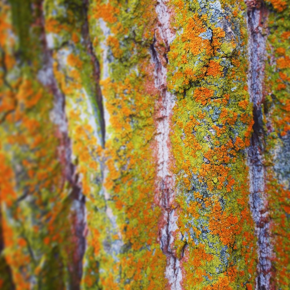 moss on birch trees close up