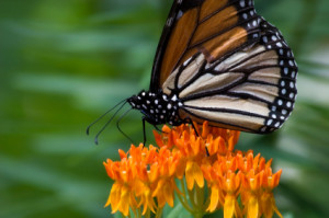 Butterfly weed plant: Monarch can eat nectar, lay eggs. Life cycle on one plant.