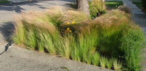 Mexican Feather Grass--one of my favorite native plants.