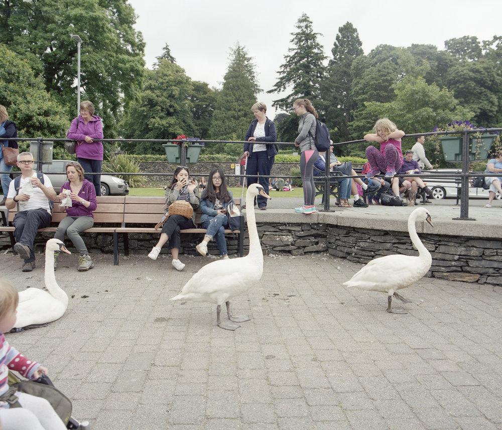 swans1.jpg