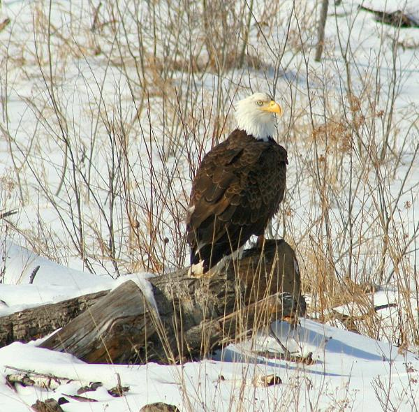 Bald-Eagle_Winter.jpg