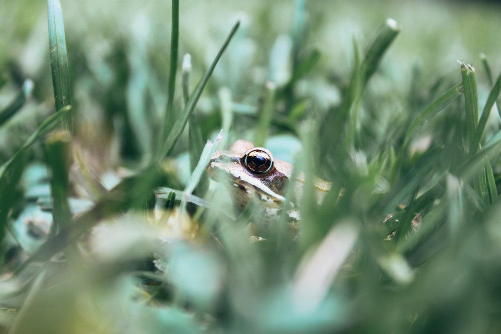 Marin_Amphibians_1709.jpg