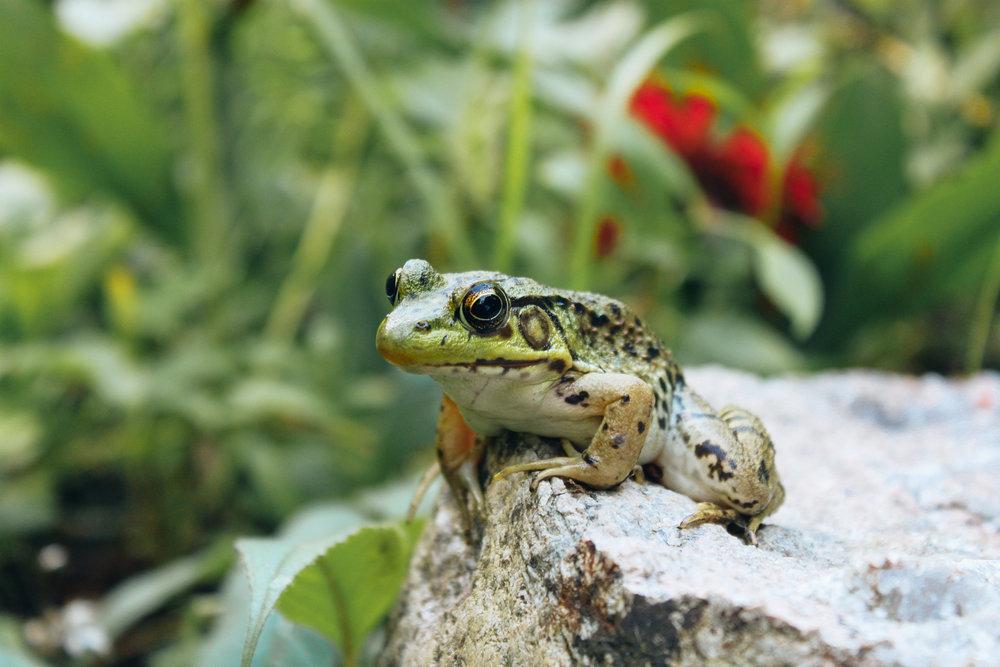 Marin_Amphibians_0114.jpg