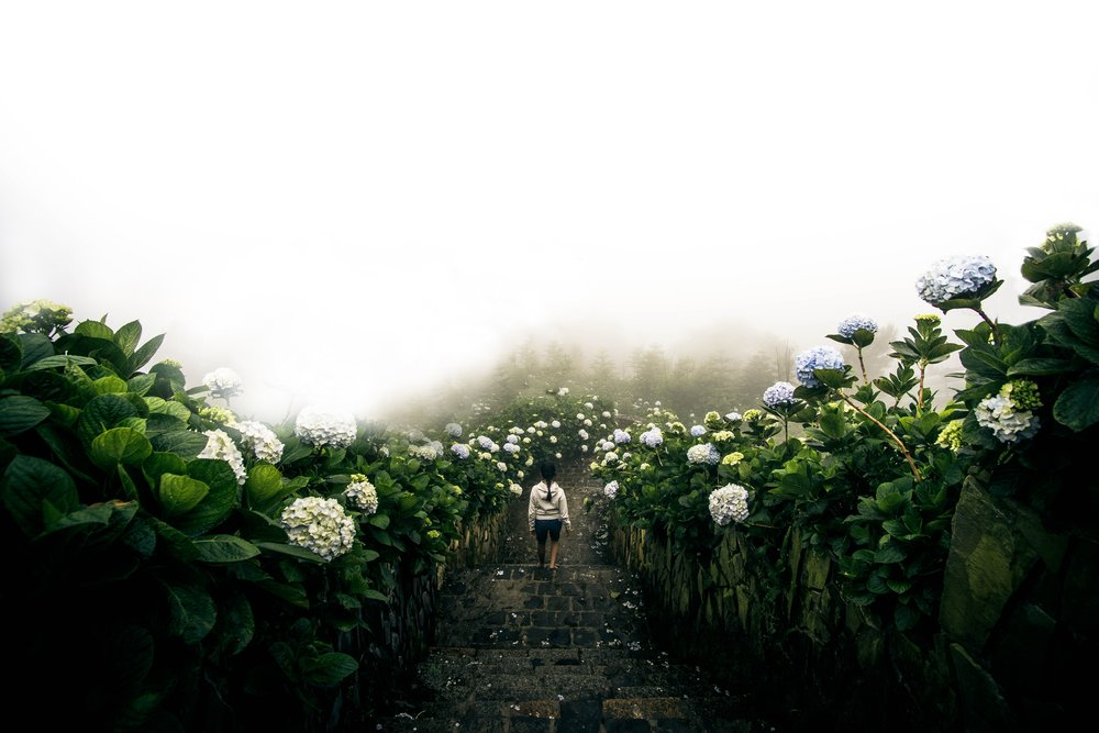 A woman is strolling down a path surrounded by blue and white hydrangeas. Fog covers the path ahead of her creating a wall of white clouds.