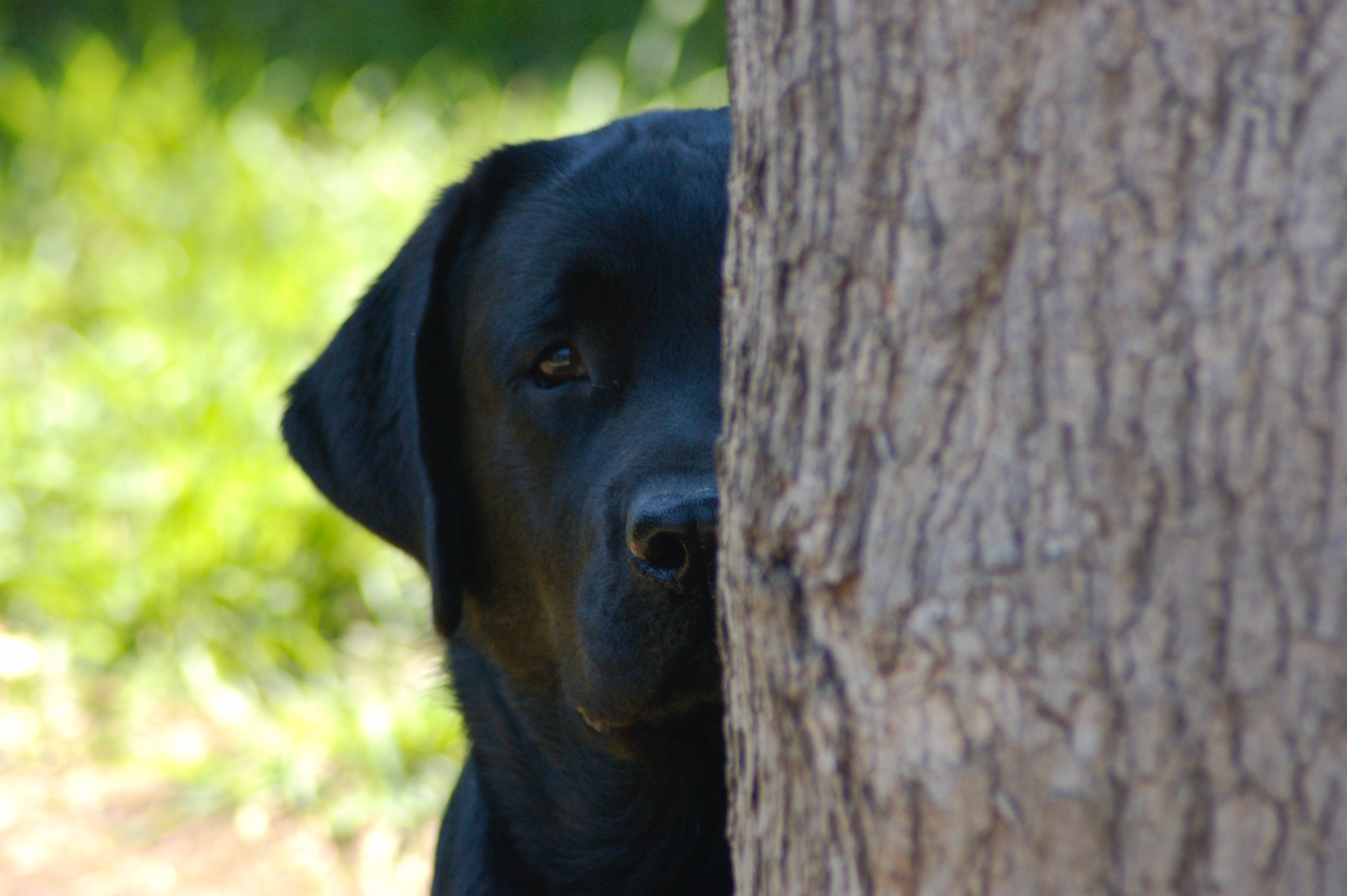Shelquin Labradors Reg'D