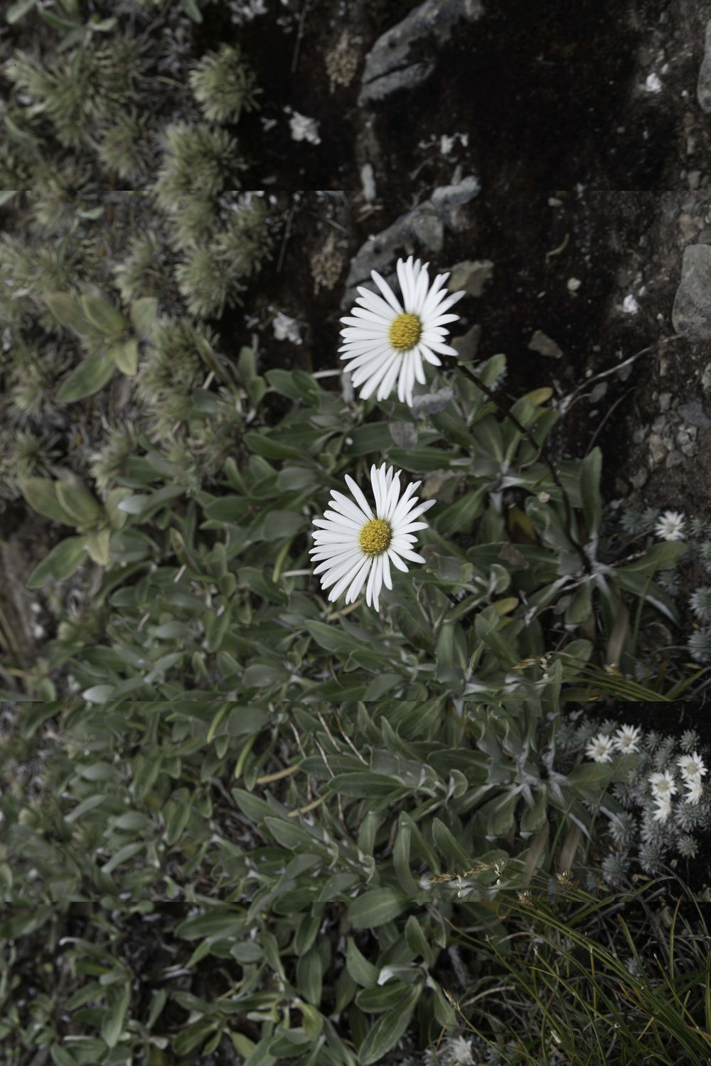 double flower.jpg