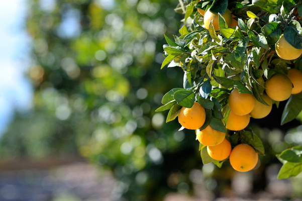 Mallorca, Majorca, orange, Soller, naranja, local, nature