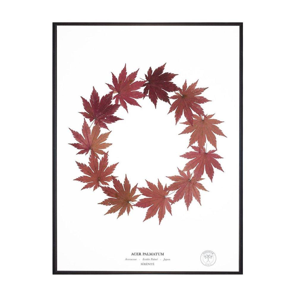 ERABLE PALMÉ SÉRÉNITÉ   Informations Botaniques   L'érable palmé tient son nom de la forme si reconnaissable de ses feuilles pouvant prendre des teintes variées. Pas de surprise à ce que cette espèce incarne la sérénité, le calme et l'observation : déjà les druides se référaient à l'érable palmé ou « messager des dieux » pour concocter potions et onguents. Les vertus protectrices de l'érable japonais sont aussi appréciées en Asie, dont il est originaire.
