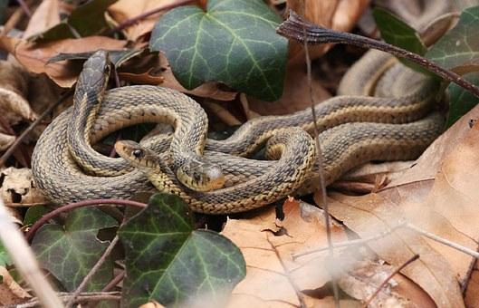 garter-snakes-941321__340.jpg