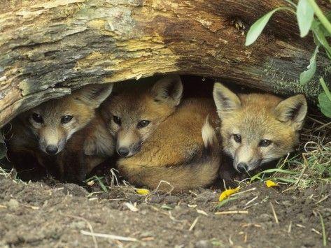 2cf4ea75661d602d4cf602745d705715--baby-foxes-entrance.jpg