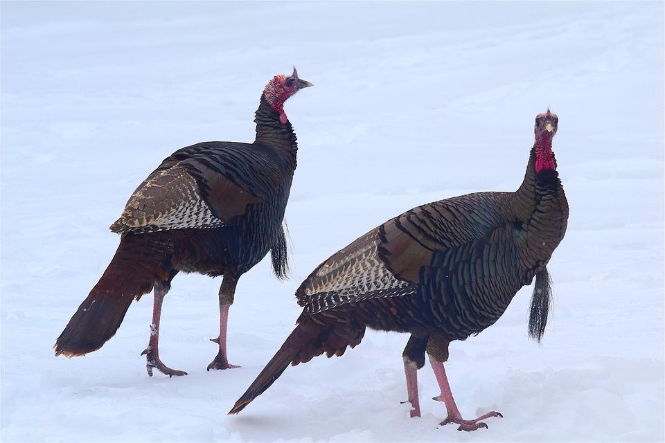 wild-turkeys-2156414_960_720.jpg