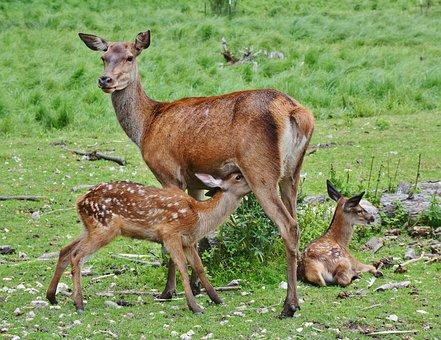 roe-deer-2549613__340.jpg