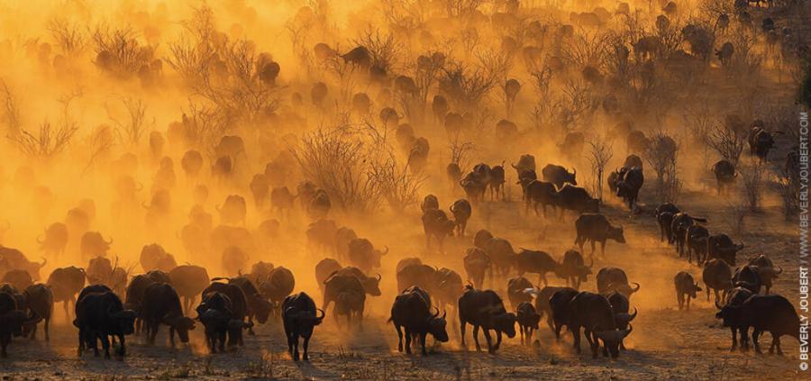 Golden Buffalo.png