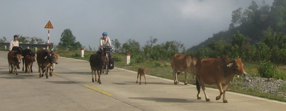 Dodging cows on the road in Vietnam.jpg