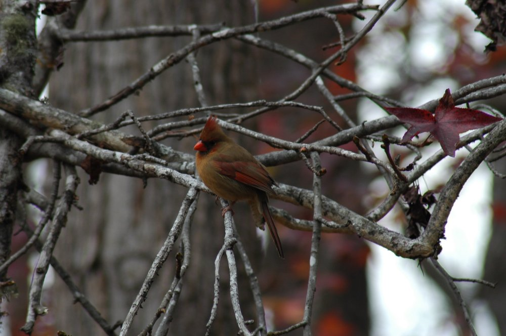 Female Cardinal Perching in a tree waiting for me to fill the feeder.