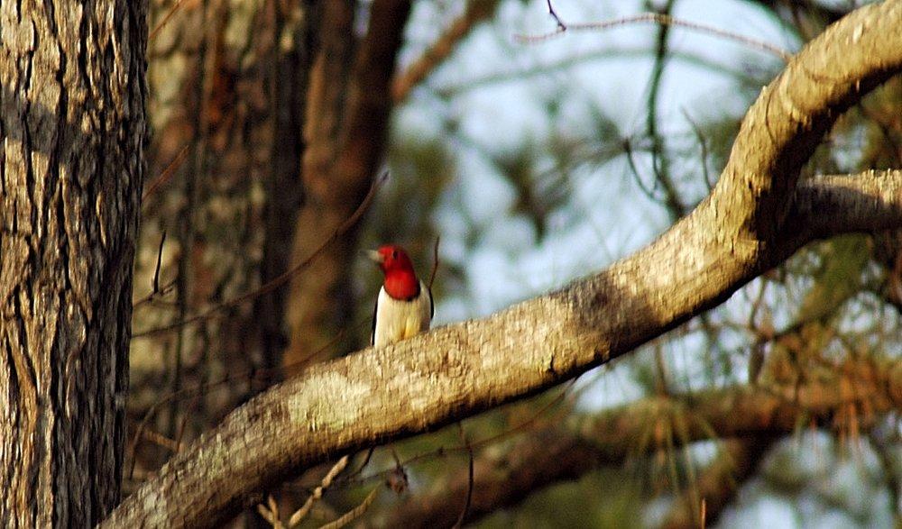 Red Headed Wood Pecker