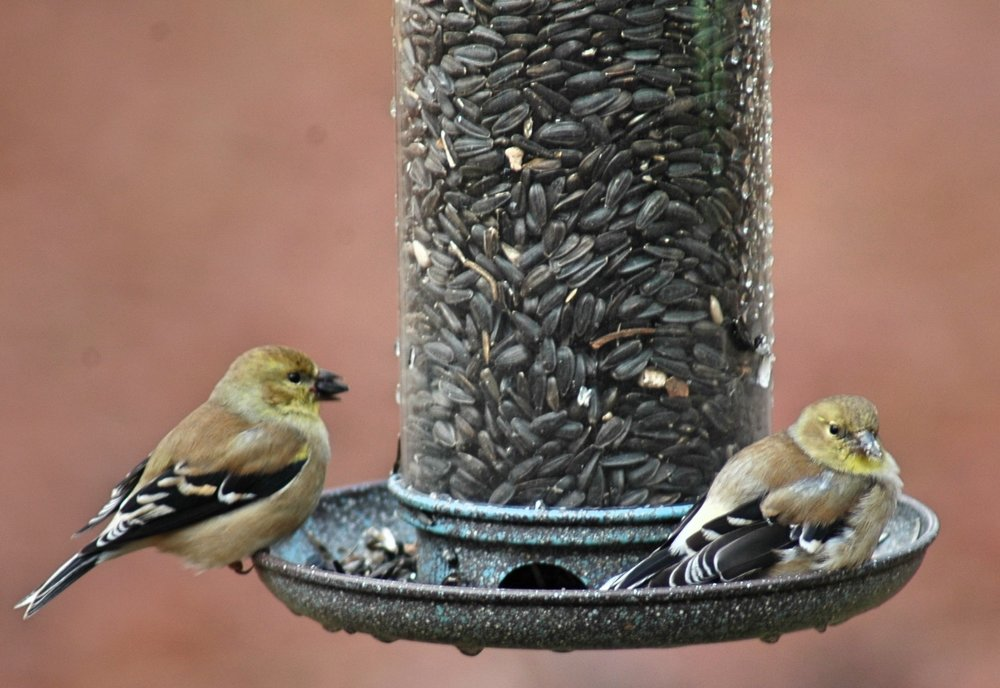 Two American Finches Looking Very Yellow, they often appear brown this time of year. They don't get the yellow feathers until mating season.