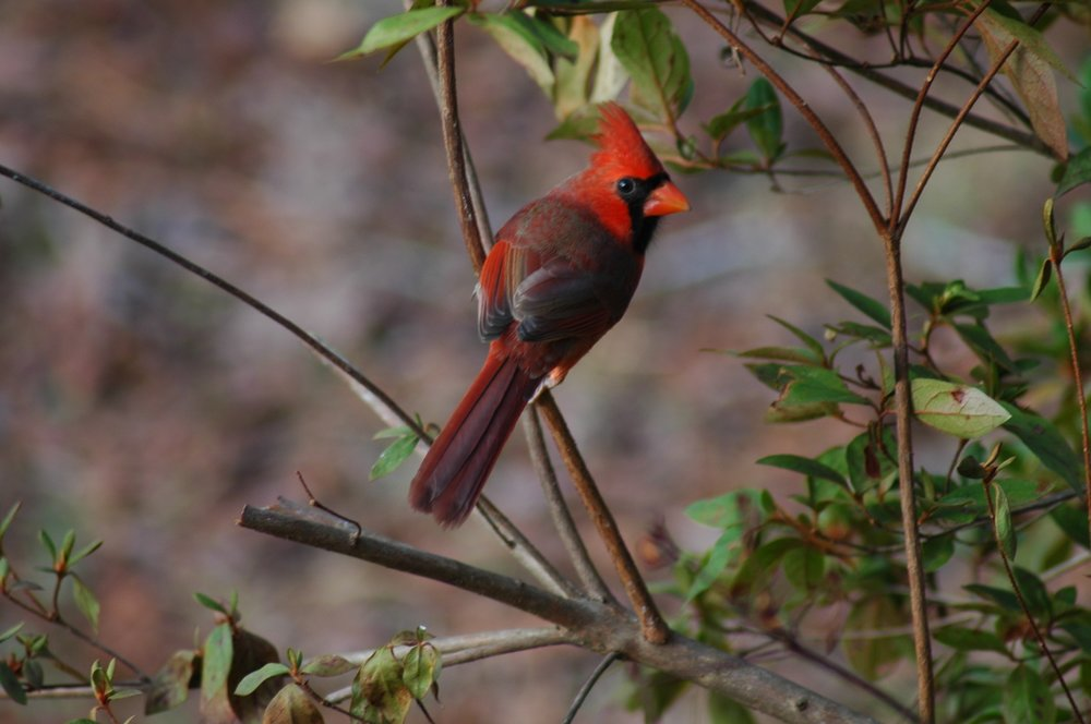 Beautiful year round friends the cardinals, this is a male.