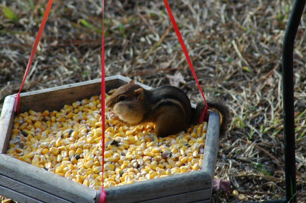 Very hungry chipmunk