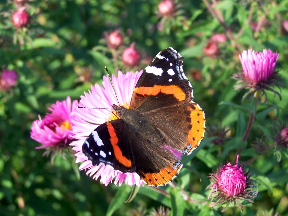 butterfly on wild pink thistle
