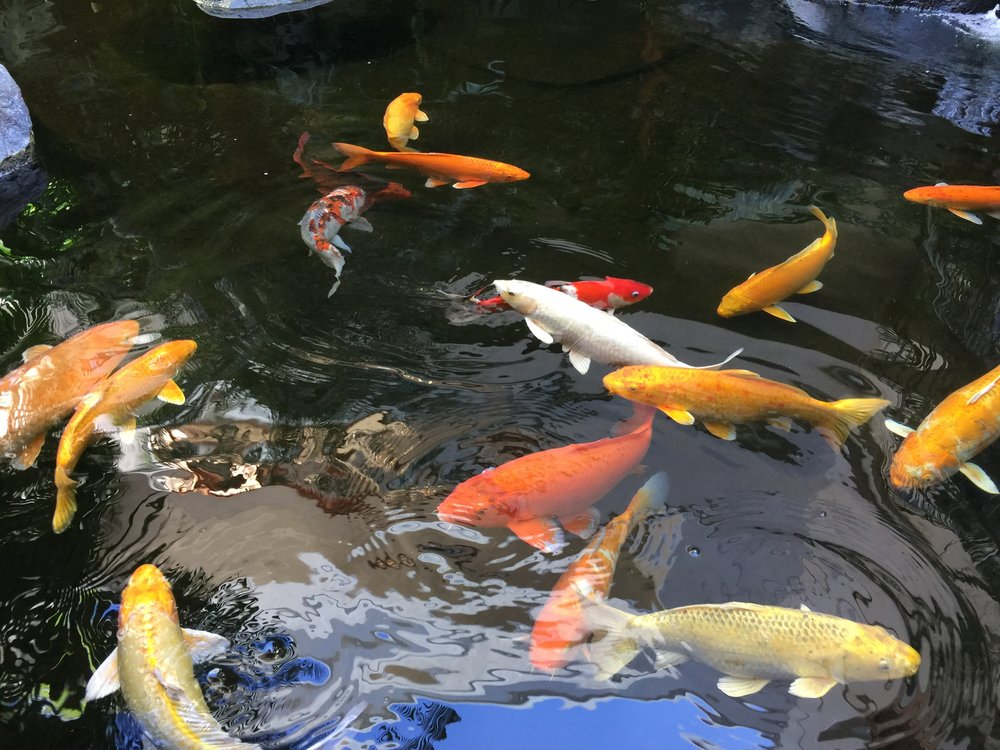 Beautiful koi fish with their golden hues.