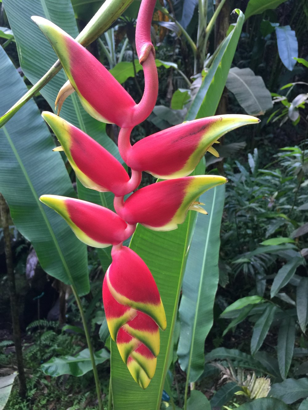 Proud, vibrant colors flaunted in the Hilo botantical gardens.