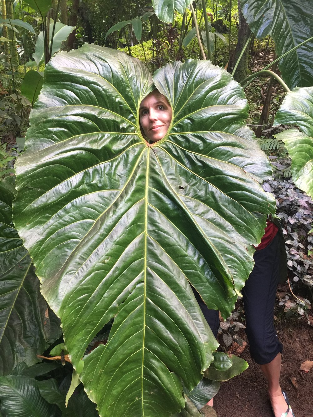 I'm about 6'2, so you can get a sense of how tall this leaf is at the Hilo botanical garden.
