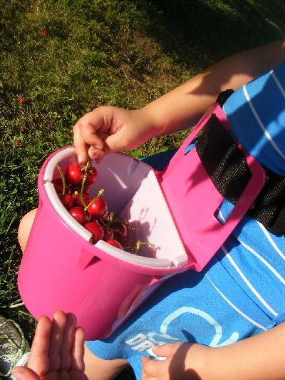 Cherries in Belt Bucket.JPG