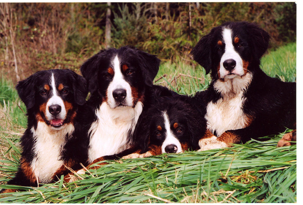 Four Bernese Mountain Dogs.