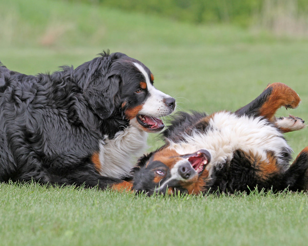 Two Bernese Mountain Dogs playing.