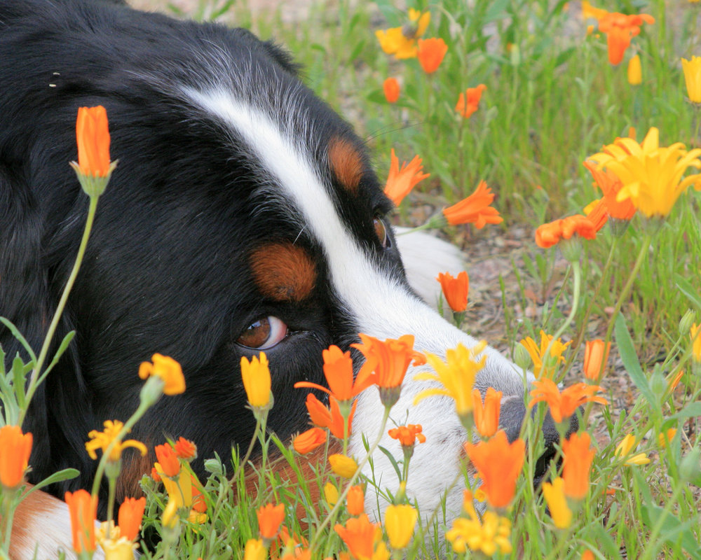 Bernese Mountain Dog in flowers.