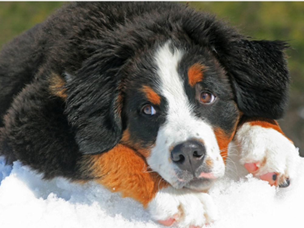 Bernese Mountain Dog puppy lying in the snow.