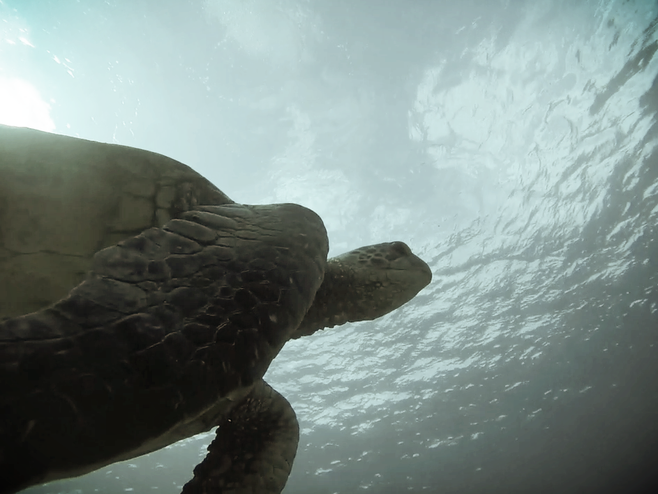 Scuba-Diving-Makena-5-Caves-Sea-Turtle-Chris-Brock-Scuba.jpg