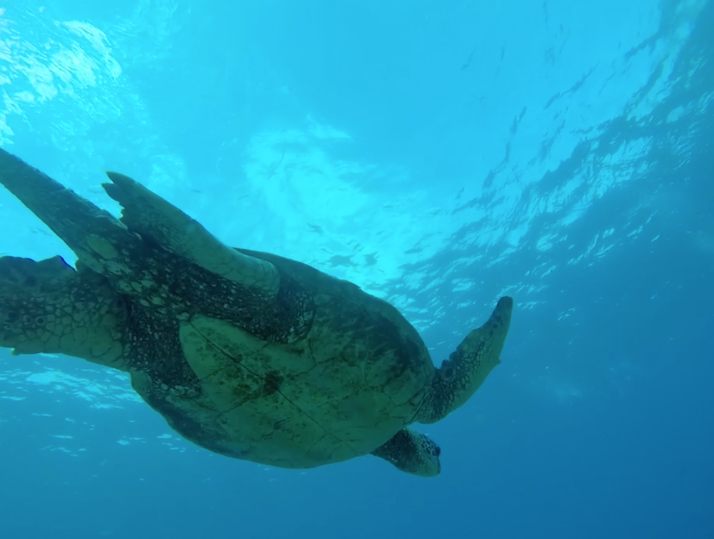 Scuba-Diving-Maui-Turtle-Hawaii.png