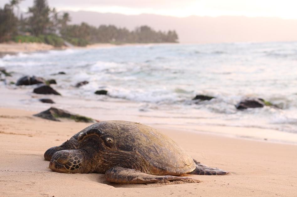 turtle-wailea-maui.png