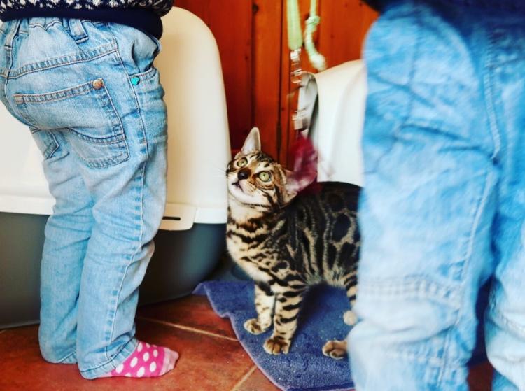 Norbert the Bengal Kitten