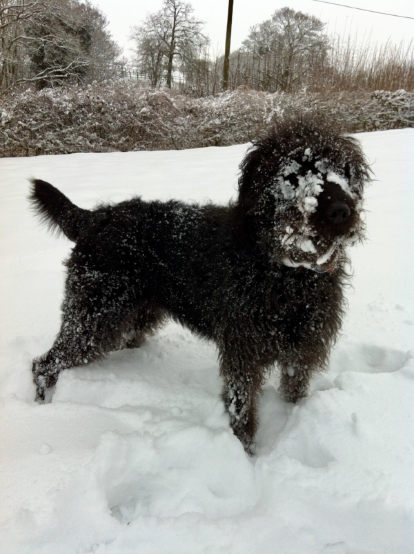 Labradoodle snow