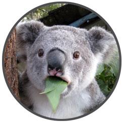 Yes, koalas