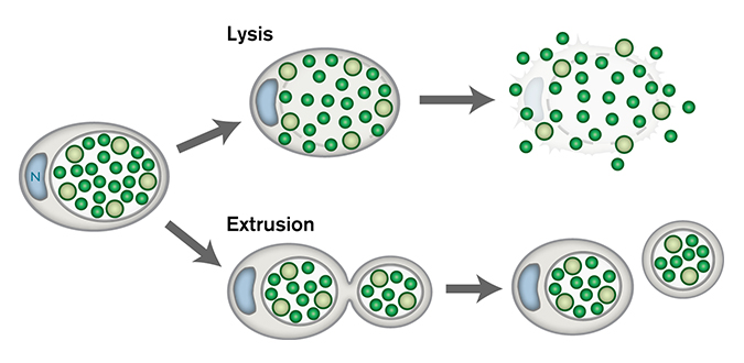 Dual Chlamydia exit pathways