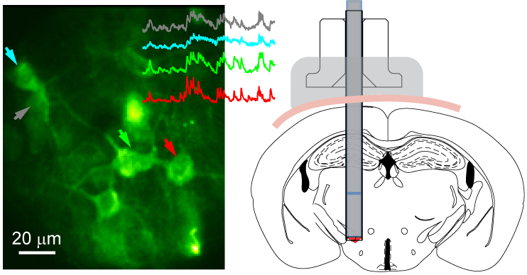 Activity of lateral hypothalamic neurons imaged at 5 mm depth