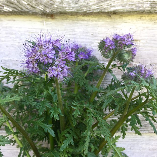 We have been particularly excited and eagerly awaiting this crop. Lacy phacelia is native to the US and best known for its use as a bee forage. It has excellent vase life and certainly a very unique flower, with excellent fragrance. We harvested our first blooms this week and they can be found in mixed bunches at @huriyali #brownsandhounds #americangrownflowers #lowcountryflowergrowers #flowerfarmer #nativeplants