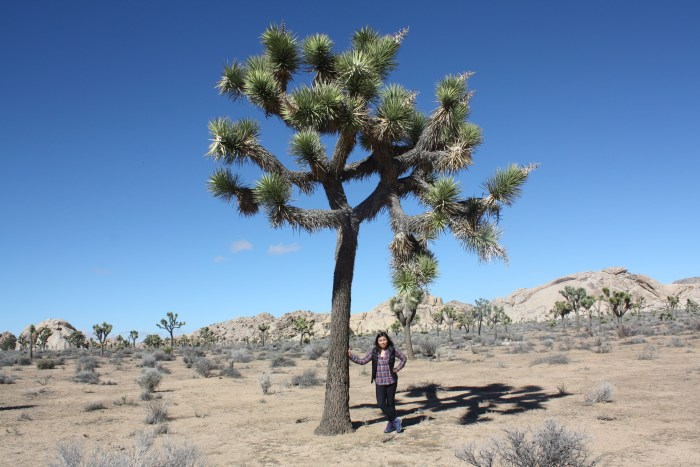 joshua-tree-size-compared-to-human