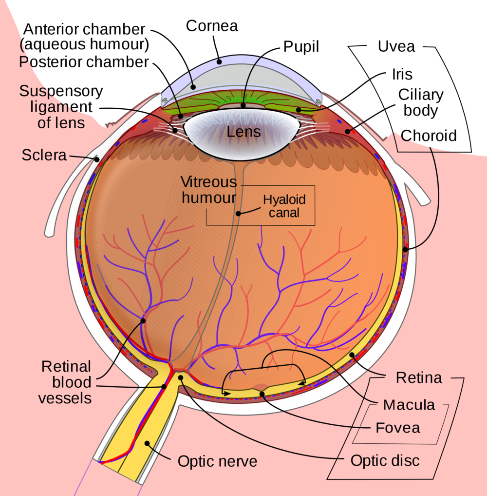 Diagram of the eye showing the vitreous humour, the jelly that fills the eye. Sadly if the vitreous pulls on the retina causing a tear or detachment it can be anything but humorous.