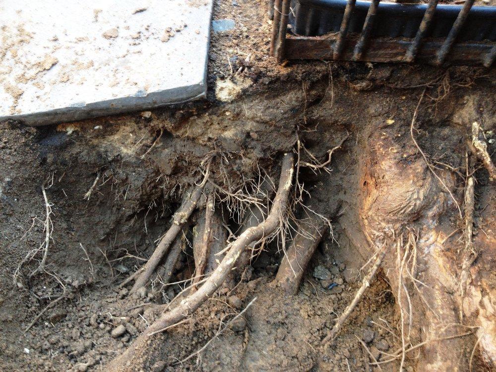 Root crown investigation.jpg