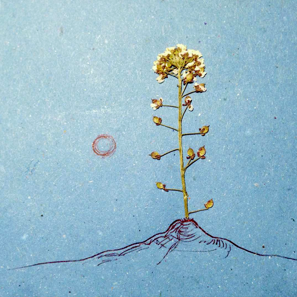 Page from a sketchbook, 2016  Flower from Cinque Terre, Italy
