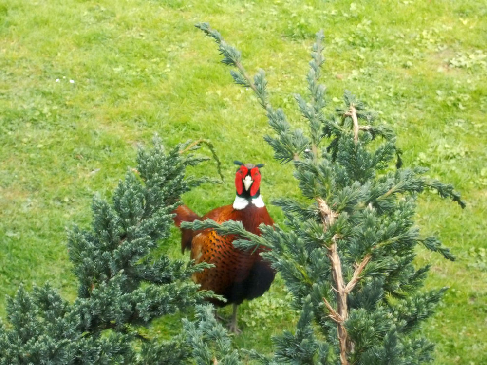 garden_pheasant.JPG